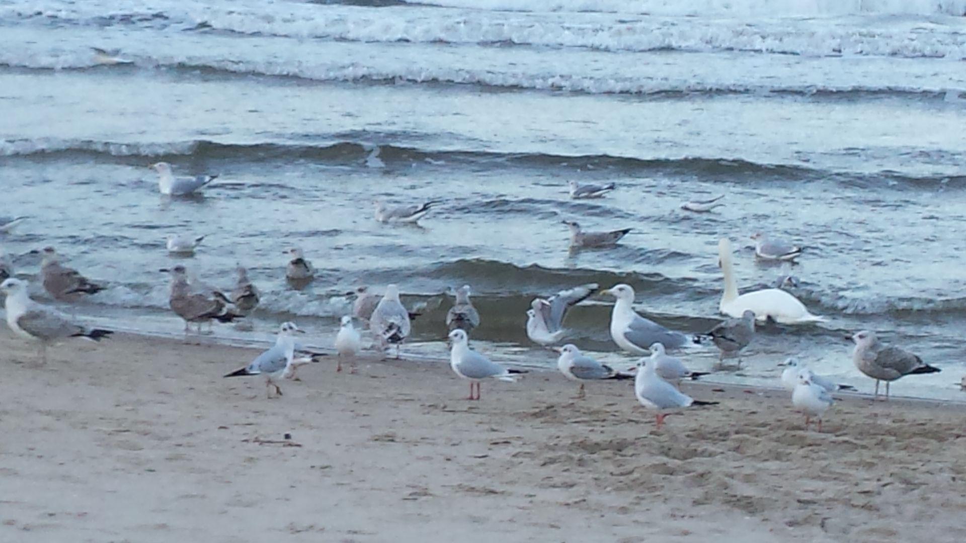 Möwen am Strand von Ahlbeck.